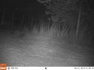 Raccoon heading towards fence in garden