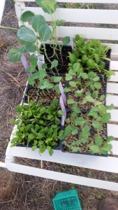 Seedlings purchased 10/4/15