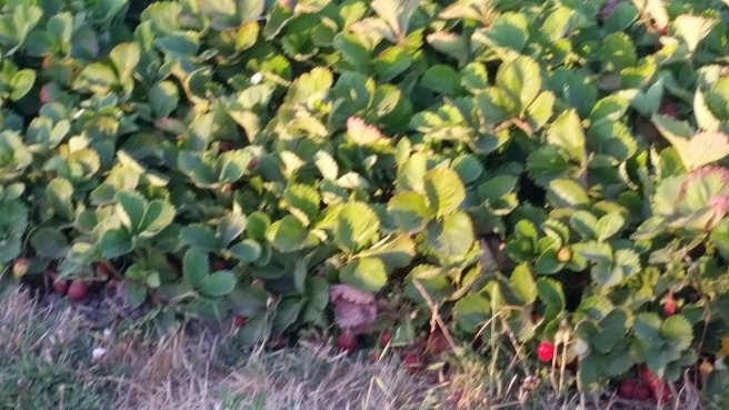 blurry photo I snapped this evening - it shows that there are still ripe strawberries on the west side of the bed