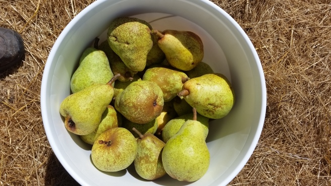 Bartlett pears that we picked