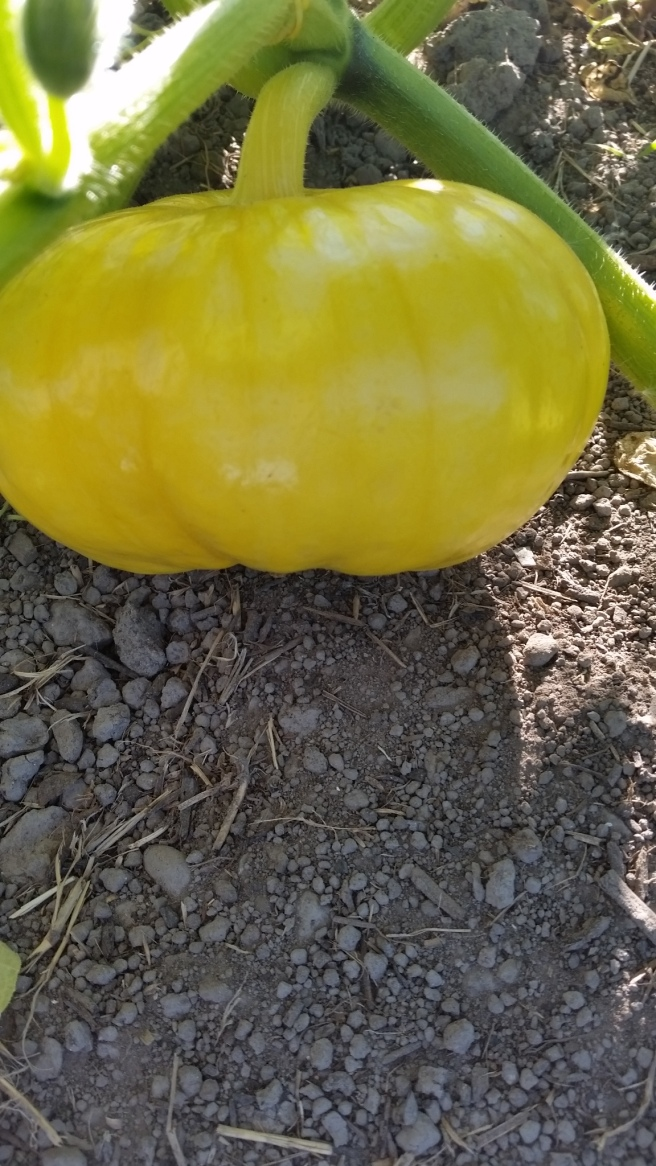 a small pumpkin that's growing in our garden