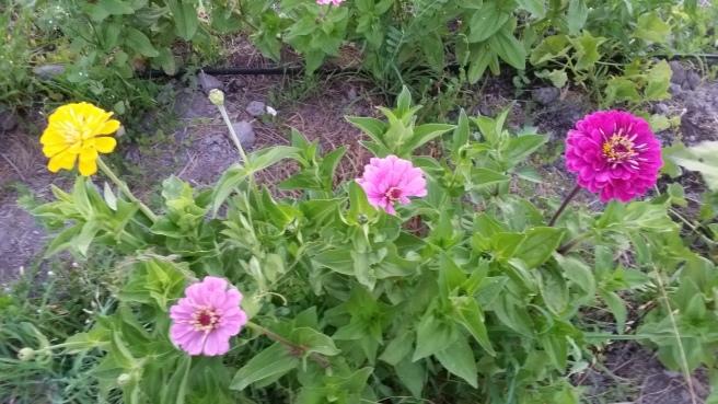 yellow, pink, fuscia zinnias