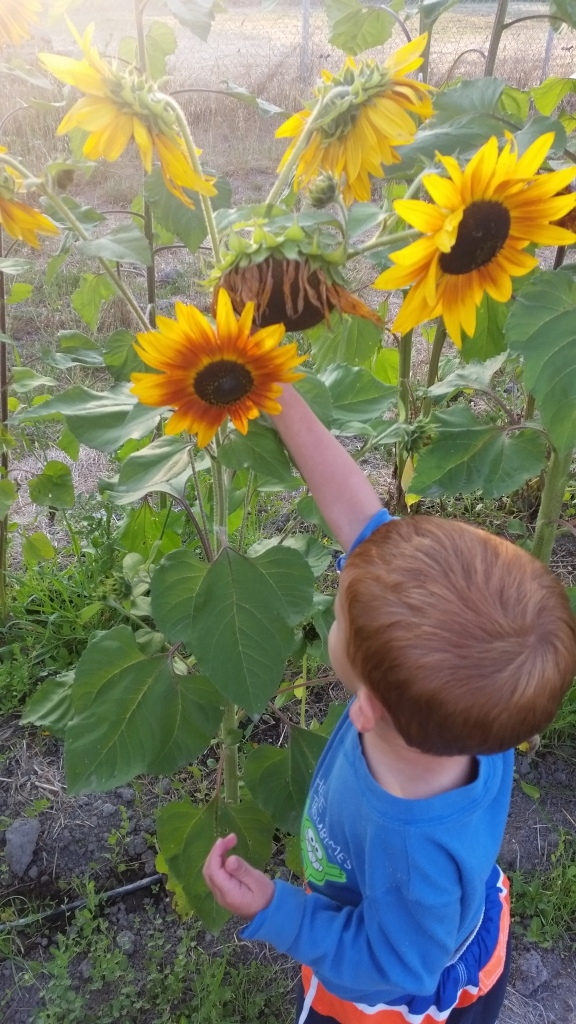 T pulling the head of a sunflower plant that's not much taller than him toward him