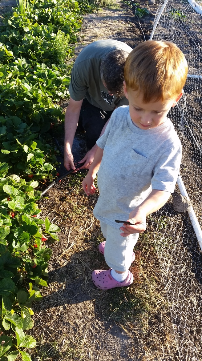 "T shows me the piece of drip tape that Z cut from the west row of the strawberries, as Z worked on ""fixing"" the leak"