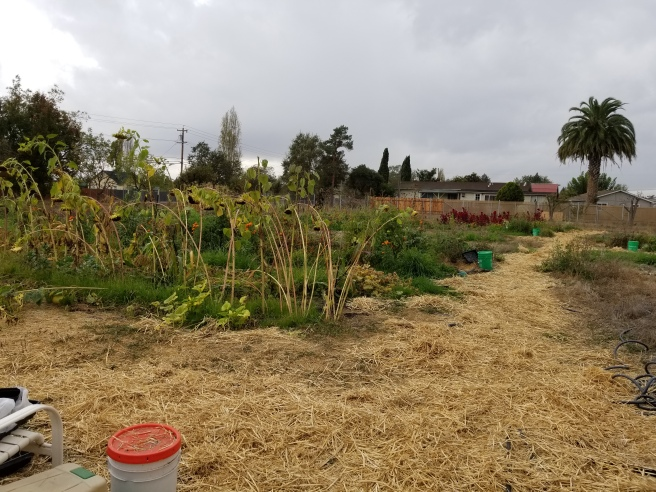 View from gate at center of garden. Shows light-colored straw that I put to cover the soil