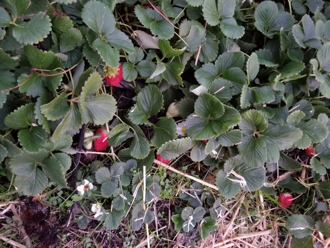 there are a few ripe strawberries!