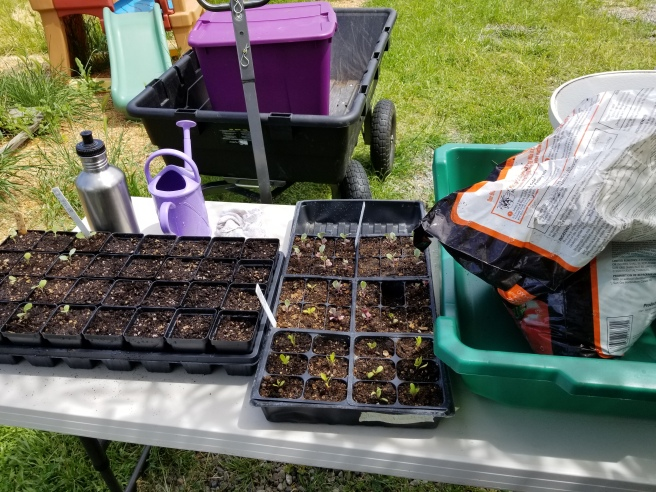 Seedlings awaiting potting up