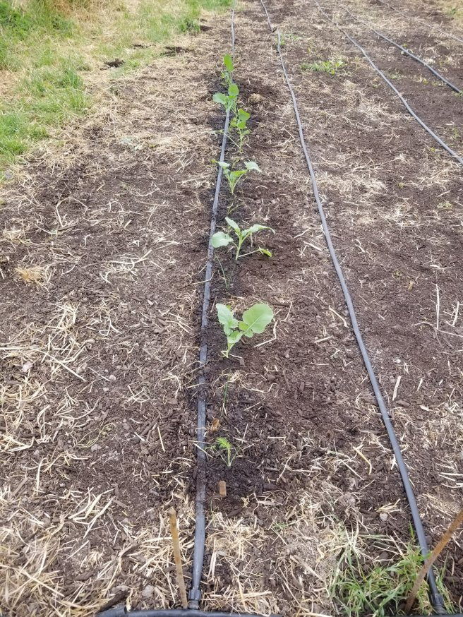part of one planted row of spring crops in the garden